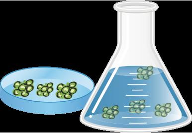 カルス増幅培養及び抽出